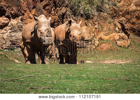 African Rhinoceroses (diceros Bicornis Minor) On The Masai Mara National Reserve Safari In Southwest