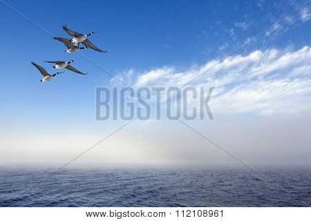Four Canadian geese in migration.