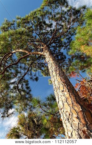 Looking Up at Slash Pine Tree