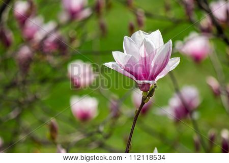 Magnolia Flower On A Blurry Background