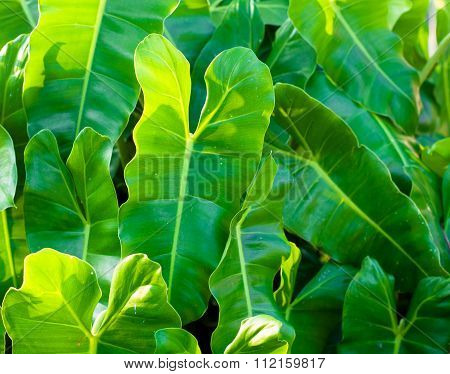 Green Philodendron Leaves In Sun Light