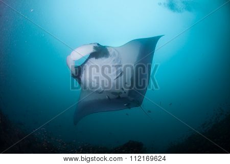 A graceful manta ray swimming overhead