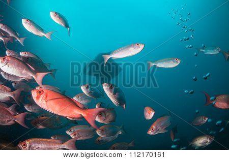 A  manta ray gliding behind a school of fish