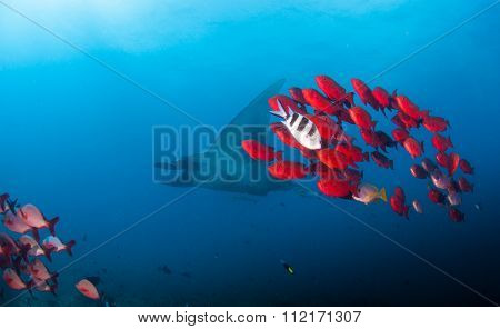 A reef manta with a school of bright red fish