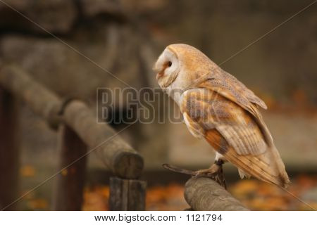 tawny owl presented during an exhibition of birds of prey poster