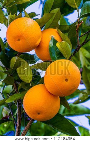 Orange Fruit Growing In A Tree
