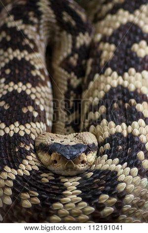 Rattlesnake, Crotalus molossus