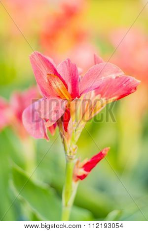 Red Canna Flower (canna Indica) In The Garden With Blurred Background