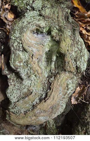 Sweet Chestnut Trunk Detail