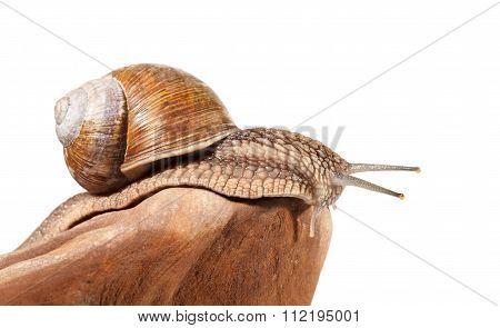 Macro Of Garden Snail
