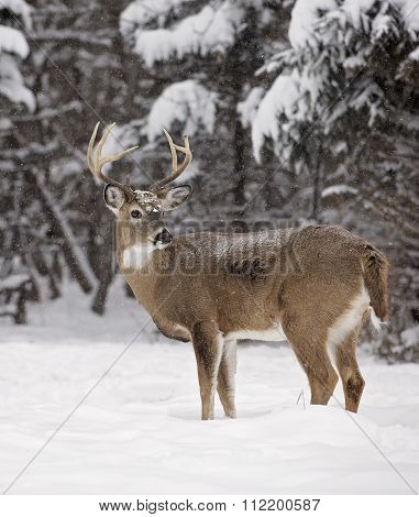 White-tailed buck deer