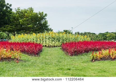 Red Cockscomb Flower And Sunflowers