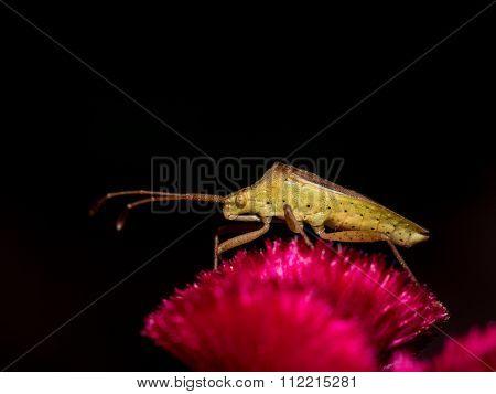 Beetle On The Flower