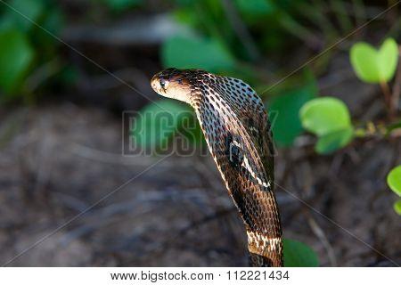 Cobra Snake Close-up In Natural Habitats