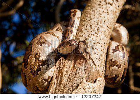 Python Snake Wrapped Around A Branch