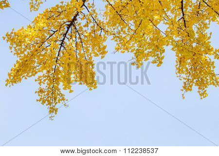 Yellow Ginko tree