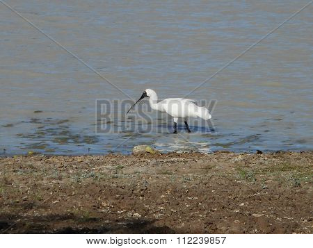 A Royal Spoonbill in the shallows of Camoweal Billabong in Queensland,Australia