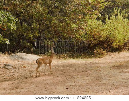 young male Black-tailed Deer in velvet