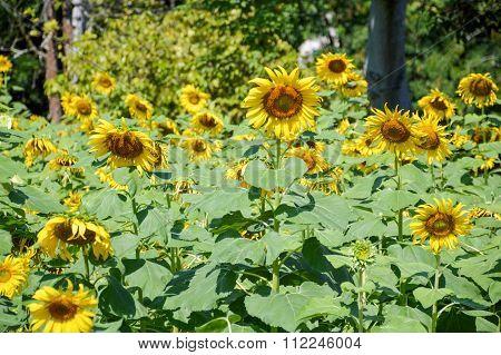 beautiful sunflower in nature garden