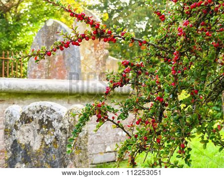 Dark-fruited cotoneaster