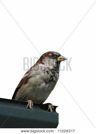 Sparrow sits on metallic sheet