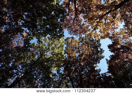 Autumn Sky And Golden-leaved Trees
