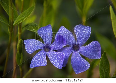 Violets among green leaves covered with dew