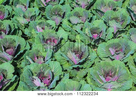 Garden With Young cabbage