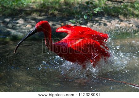 Red Ibis In A Zoo