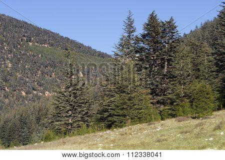Highland plateau in cedar forest. Mountain way, Turkey
