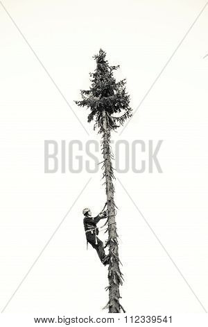 Treeworker Felling Down A Tree, Black And White
