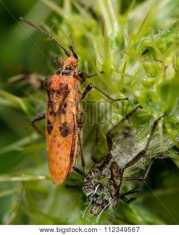 Freshly moulted bug Corizus hyoscyami bug next to exuvium