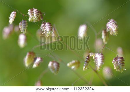 Quaking-grass (Briza maxima) in flower