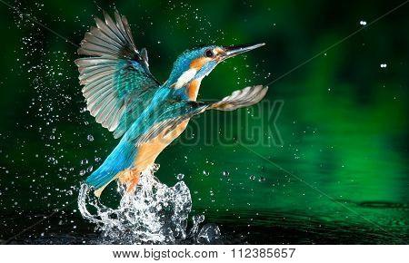 humming-bird bird