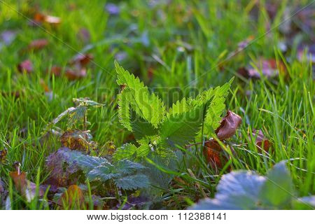 Nettle lies in grass with backlit by sunlight