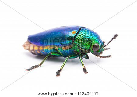 Beautiful Jewel Beetle or Metallic Wood-boring (Buprestid) top view isolated on white background. poster