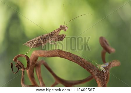 Very Tiny Mantis Hunted For Small Green Bug On The Grapevine On Green Background