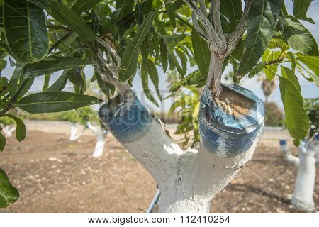 Graft on a mango tree