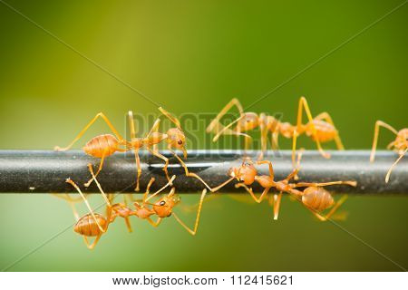 red ant walking on a black rod Macro shot