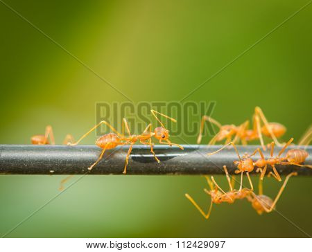 Red Ant Walking On A Black Rod