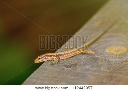 Lizard On The Wooden Plank