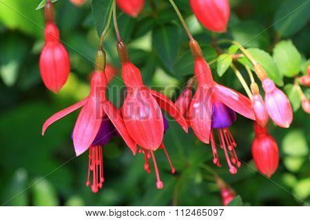 Red fuchsia flowers in the garden