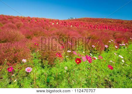 Beautiful Cosmoses field and kochias hill in autumn season at Hitachi seaside park Ibaraki prefectur