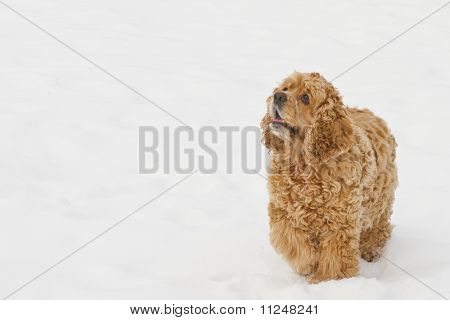Red spaniel dog play in the snow in winter looks requests have poster
