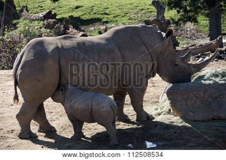 White Rhino Calf Feeding Time