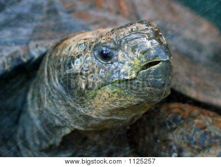 Head Of Burmese Mountain Tortoise Manouria Emys_