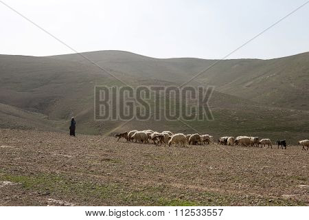 Sheep on pasture in Israely mountains in spring