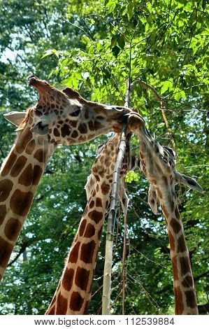 Close up of a family of reticulated giraffe eating