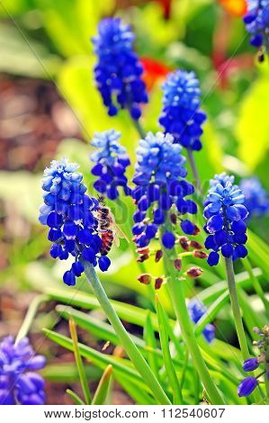 Vipers Bow Or Murine Hyacinth, Or Muscari