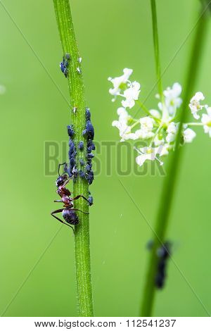 Thatching Ant (lat. Formica Rufa)